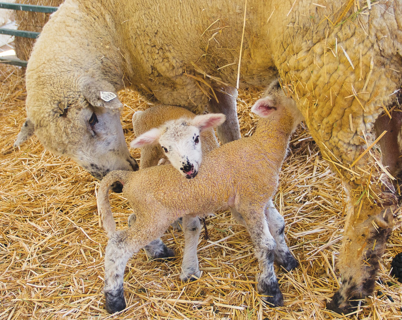 7 newborn lambs delivered on Pierce Farm in the last week