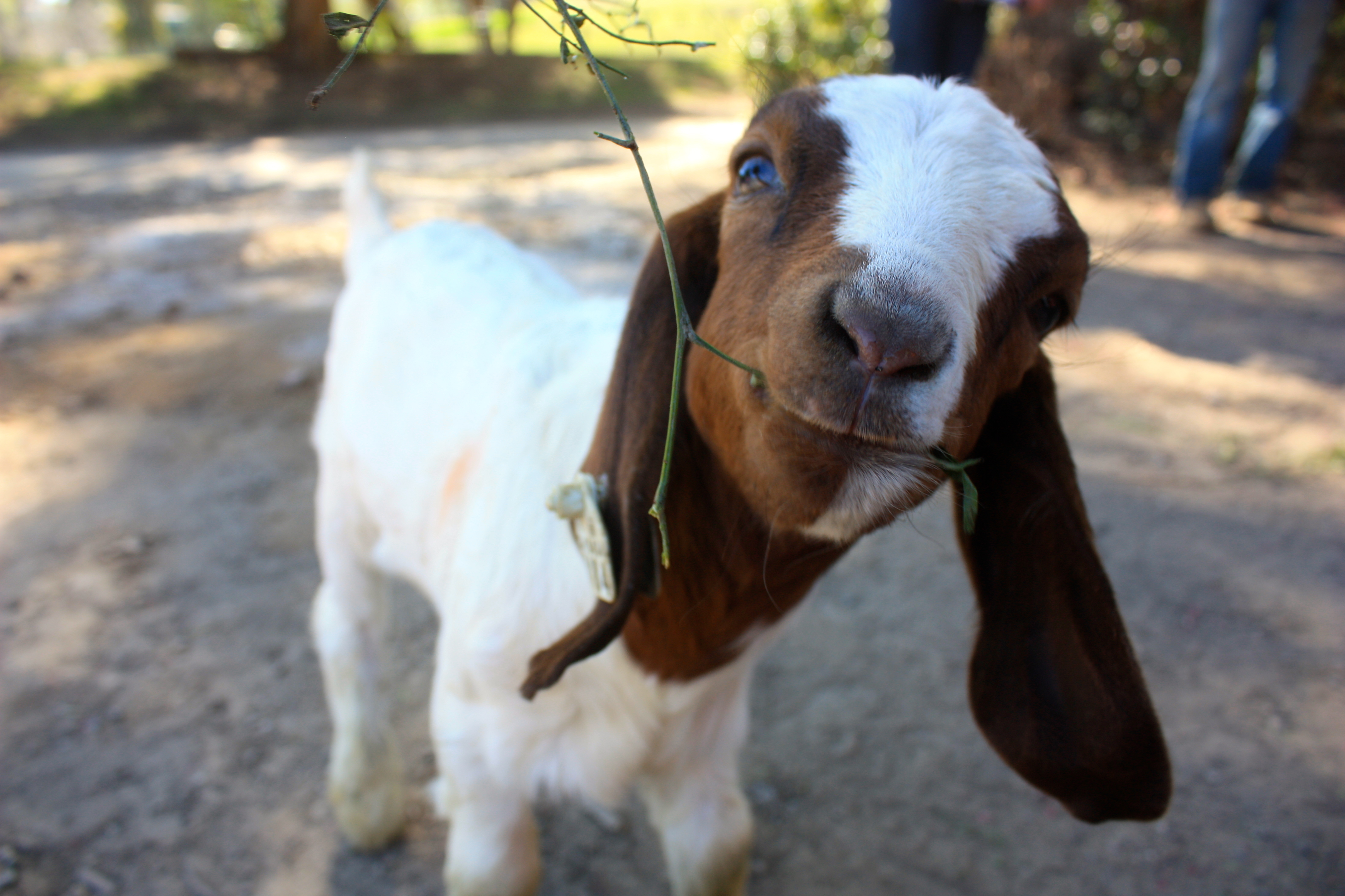 Agriculture Department hosts fundraiser in hopes of adopting orphaned goat