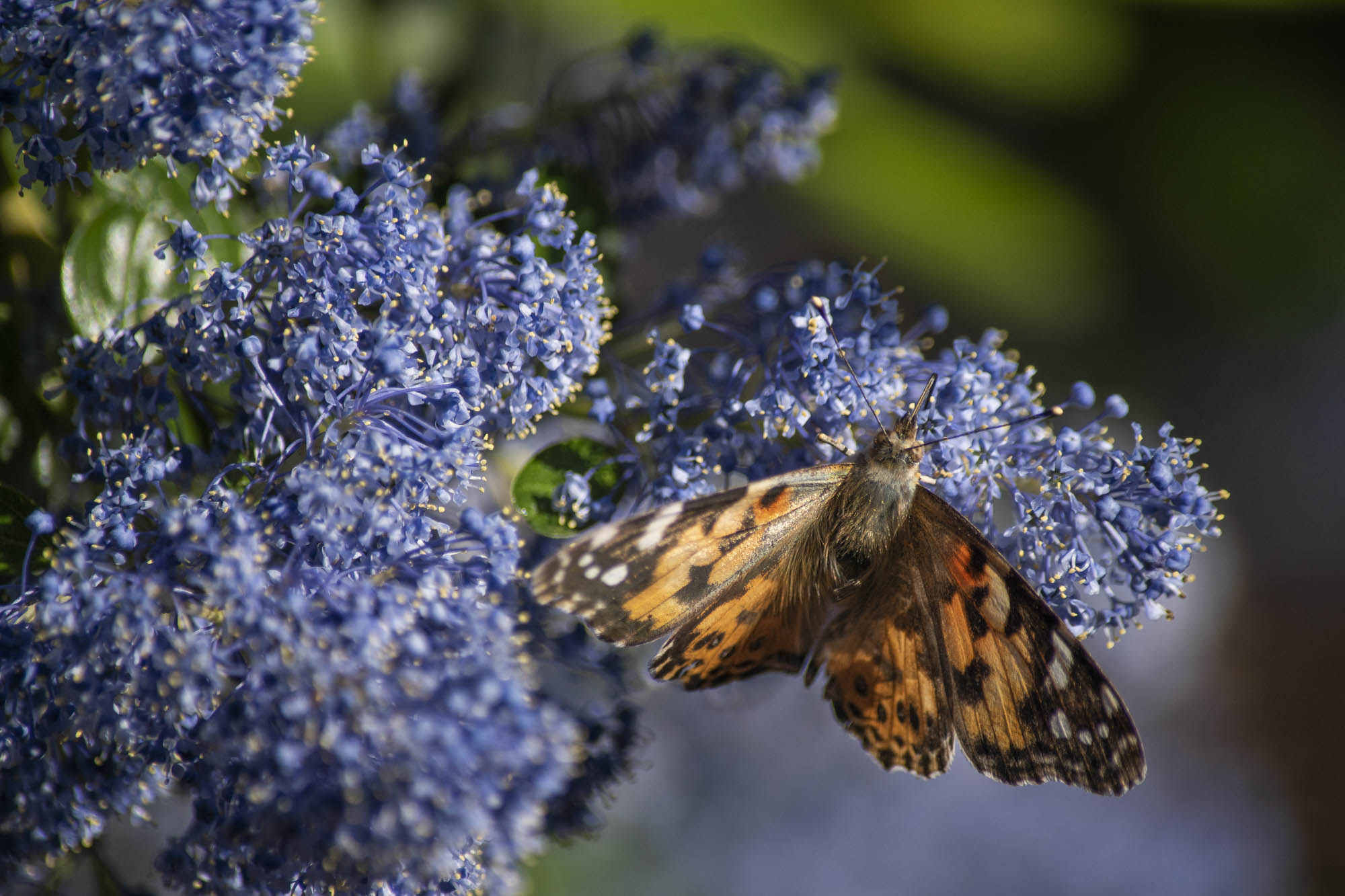 Painted ladies make the heart of campus flutter