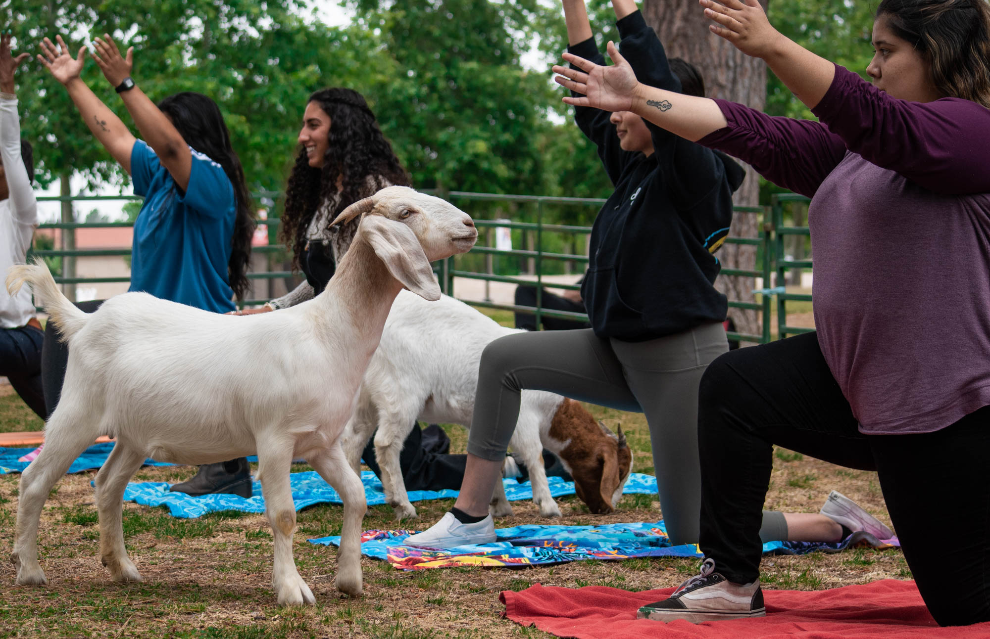 Goat Yoga on campus